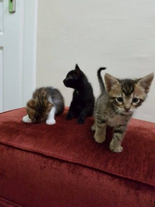 Yavru kedi sahiplendirme ( Acil )