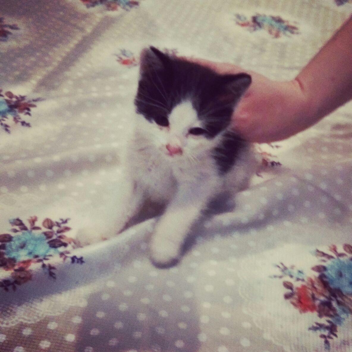 Acil 1aylik erkek minik yavru kediye ömürlük yuvasını ariyoruz