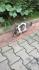 Hamile kediciğe acil yuva aranıyor (1. yaşında-3. hamileliği )