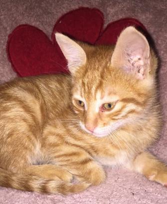2 aylık erkek yavru kedi