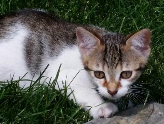 ücretsiz 2 aylık yavru kedi