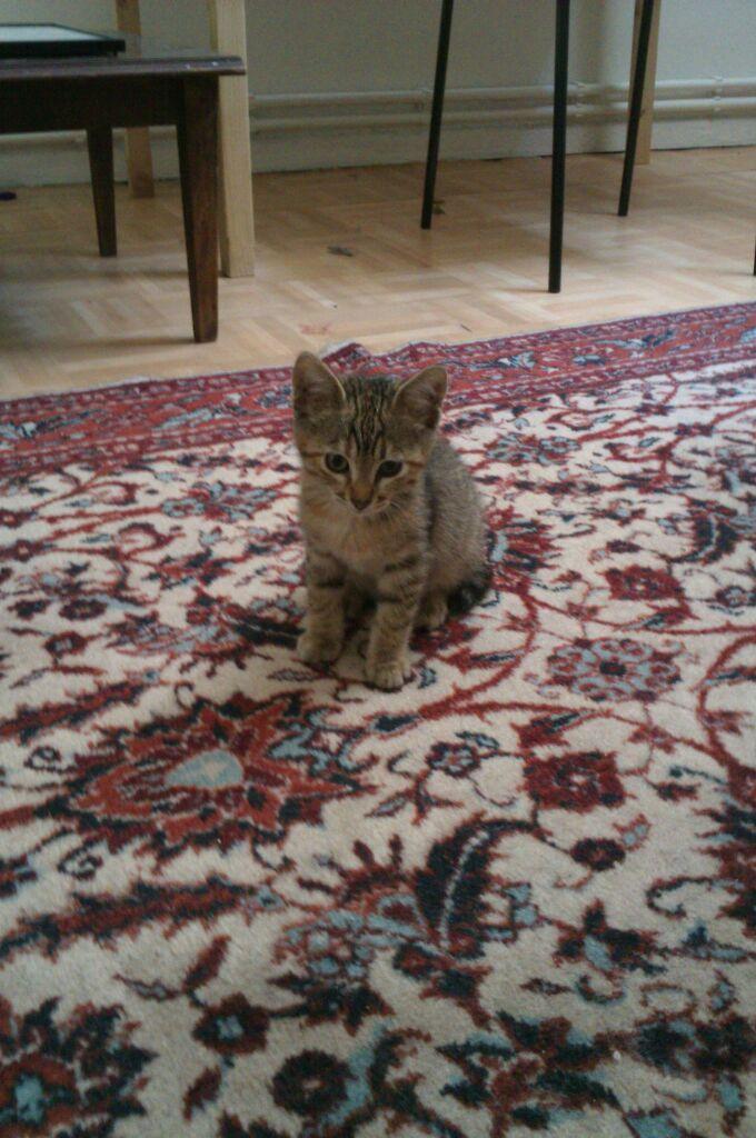 Tekir 2 aylık dişi kediye yuva arıyoruz