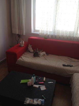 (7) Yedi haftalık Yavru kedilerimize yuva arıyoruz