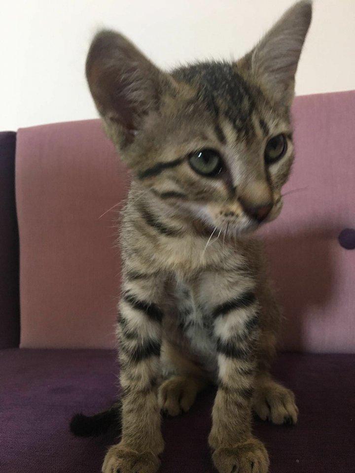 2 aylık kedimize yuva arıyoruz İlk aşıları yaptırılmıştır
