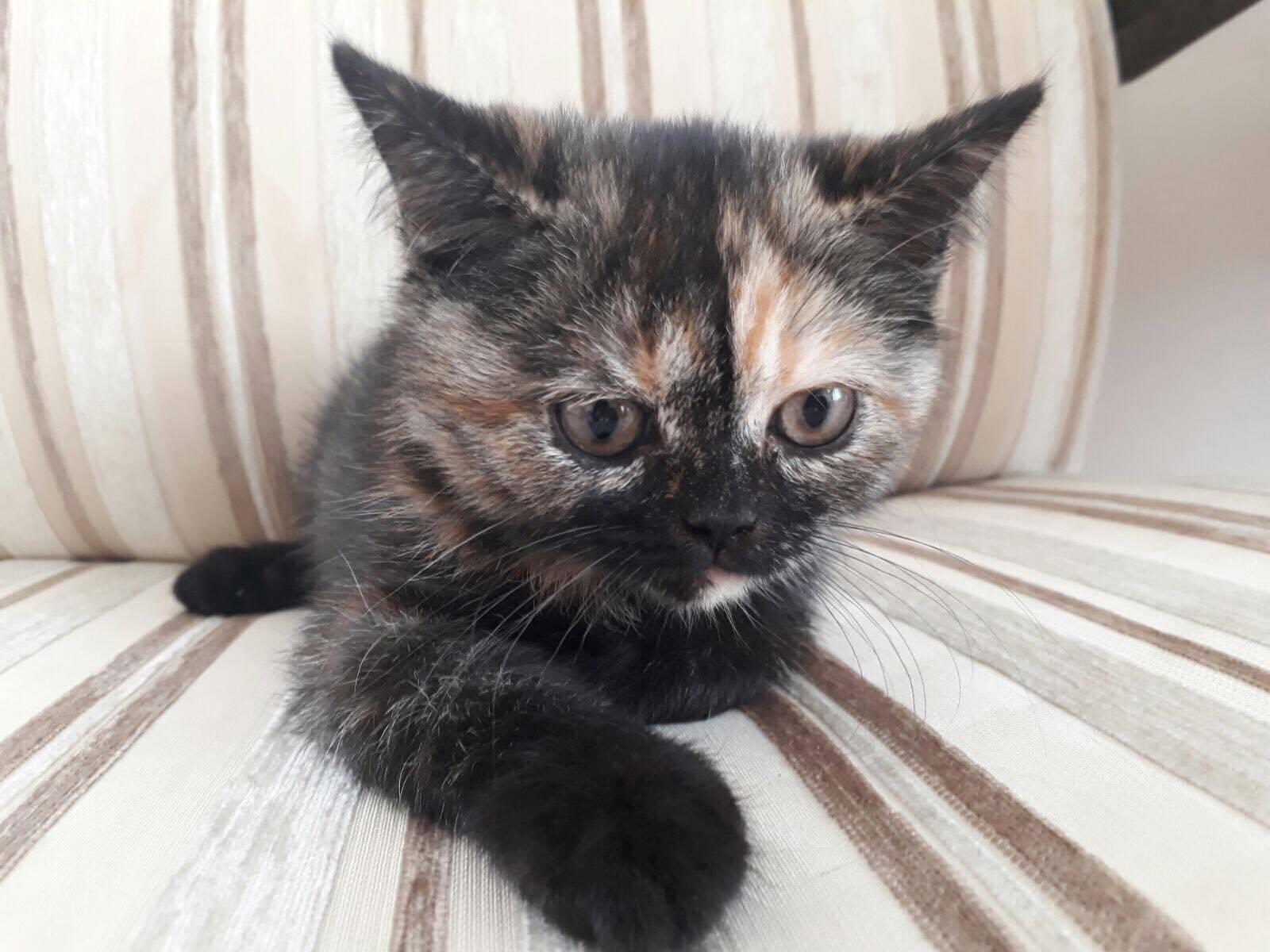 2 aylık Tortie renk ev üretimi dişi British Shorthair yavru