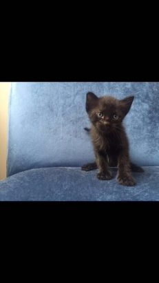 1.5 aylık 2 yavru kedi