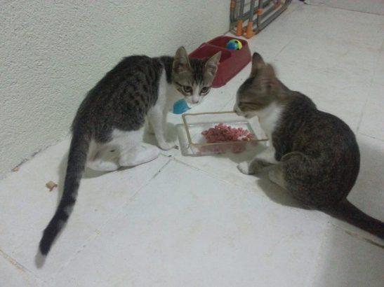 5 aylık iki yavru kediye acil yuva aranıyor