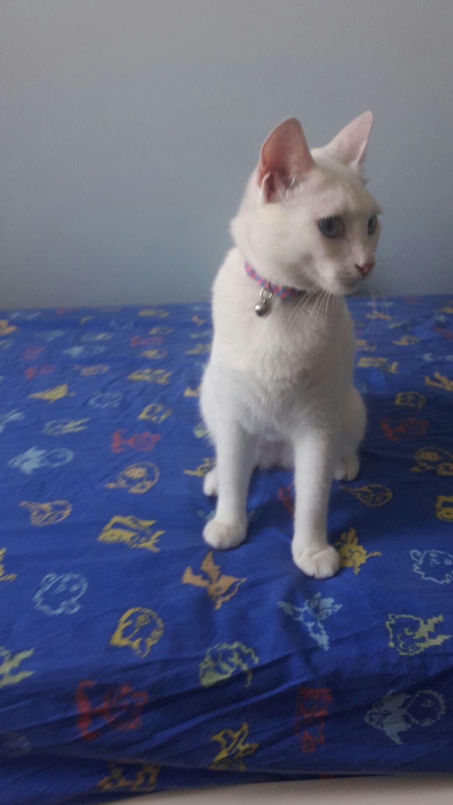 8 aylık dişi ankara kedisi