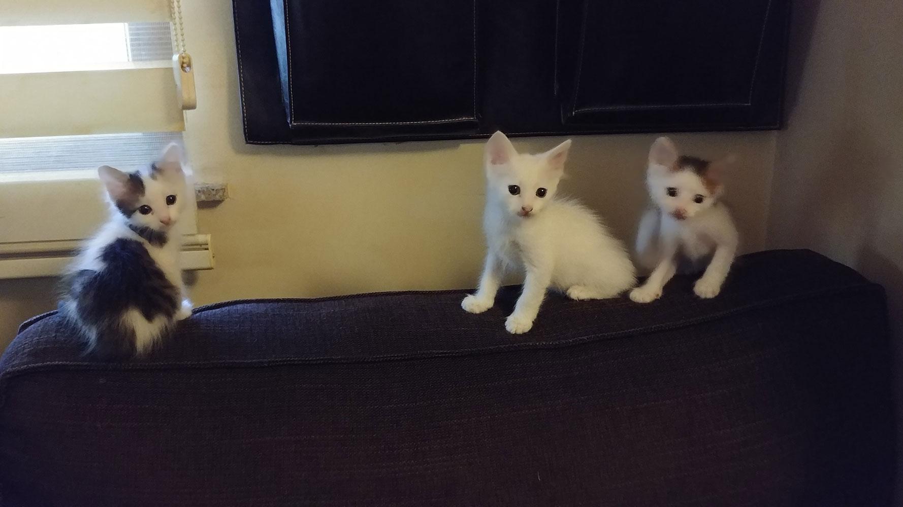 5 Yavru kedi 1.5 Aylık 3 beyaz 2 renkli sizi bekliyorlar