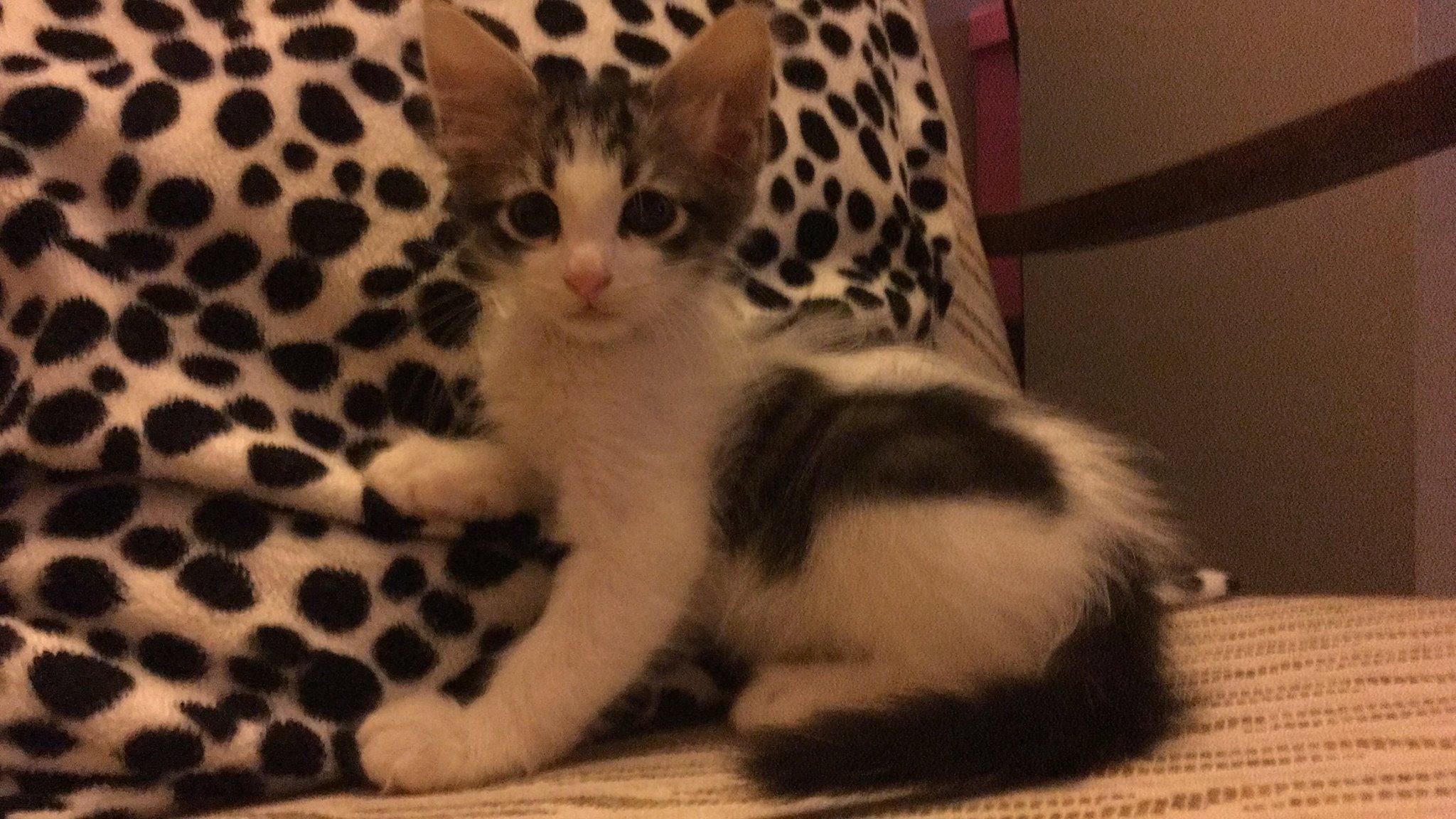 bıdık yuva arıyor – 2 aylık erkek yavru kedi
