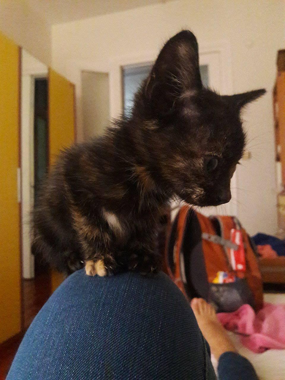 Yavru Kediye ev ariyoruz! Ilk asilari yapilarak teslim edicektir!