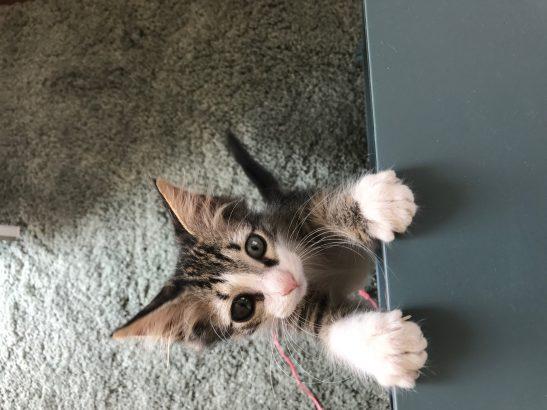 Adı Moka, Erkek Yavru Kedi, 9 haftalık