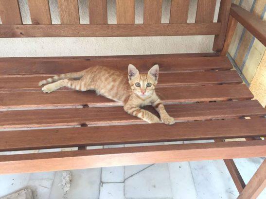 Yavru sarı kedime anne/baba arıyorum
