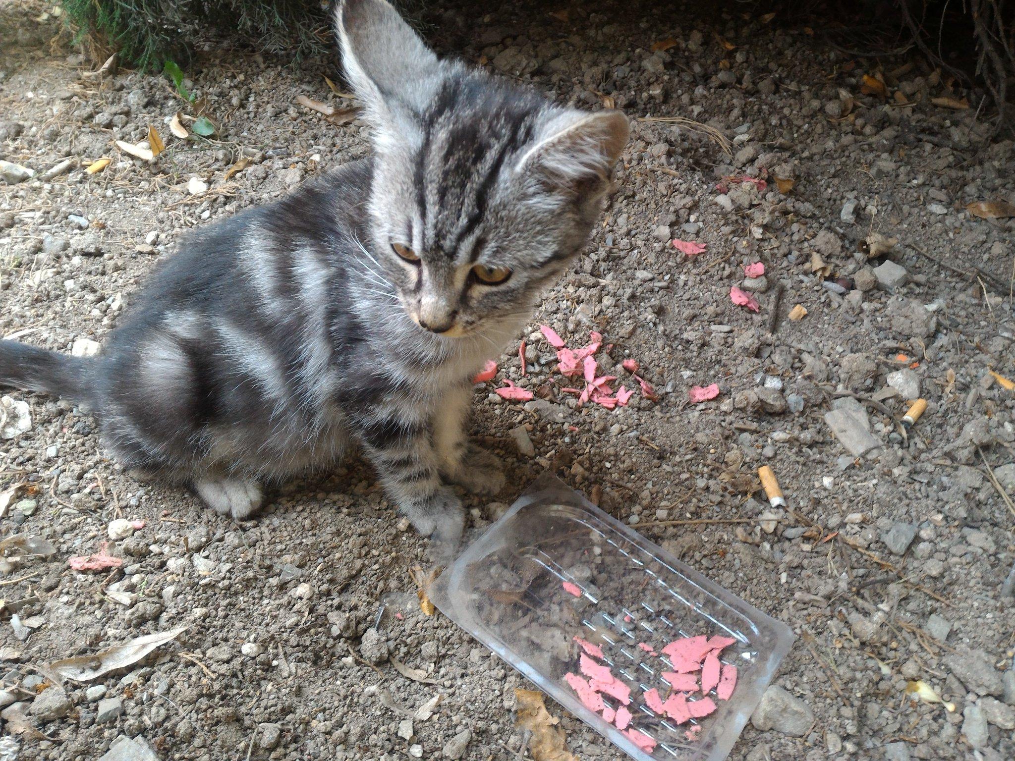 Acil Sahiplendirme 2.5 Aylık Yavru Kedi Tekir Erkek