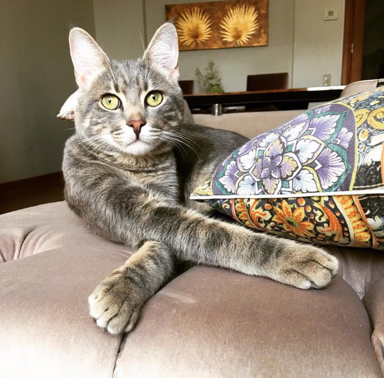 1 yaşında kısır erkek kedi