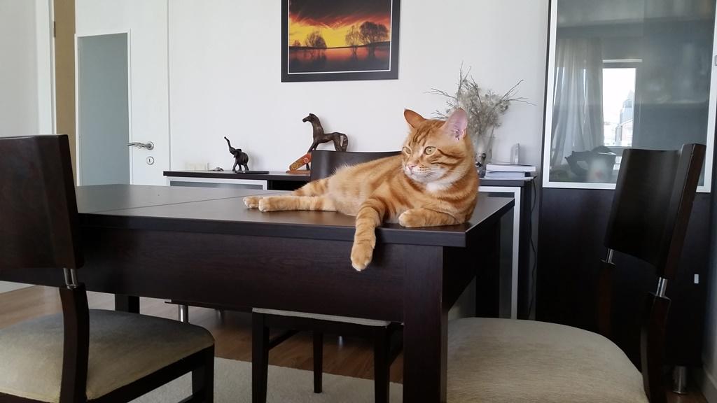 1,5 yaşında Sarman kedimiz mecburiyetten sahiplendirilecektir