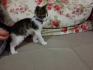 3 aylık yavru kedi sevimli oğluşa acilen yuva