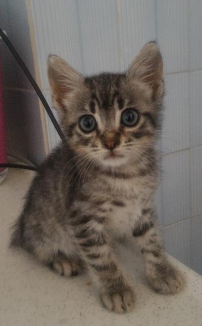 gri tekir yavru kedi