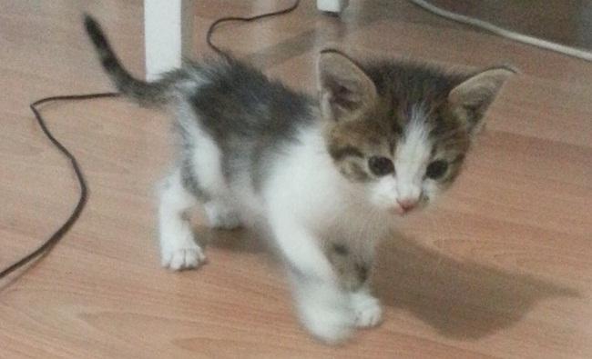 Bu minik yavru kediye yuva arıyoruz Tunceli-Elazığ