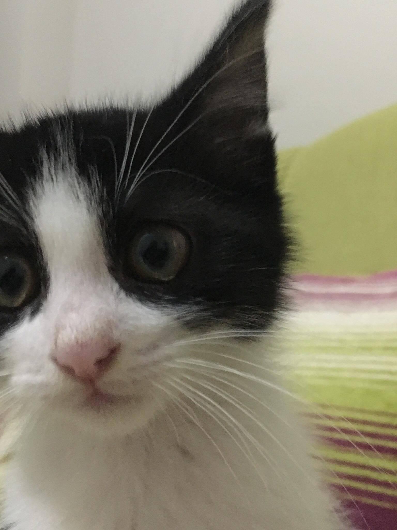 1.5 Aylık Yavru Kedi Ömürlük Yuvasını Arıyor