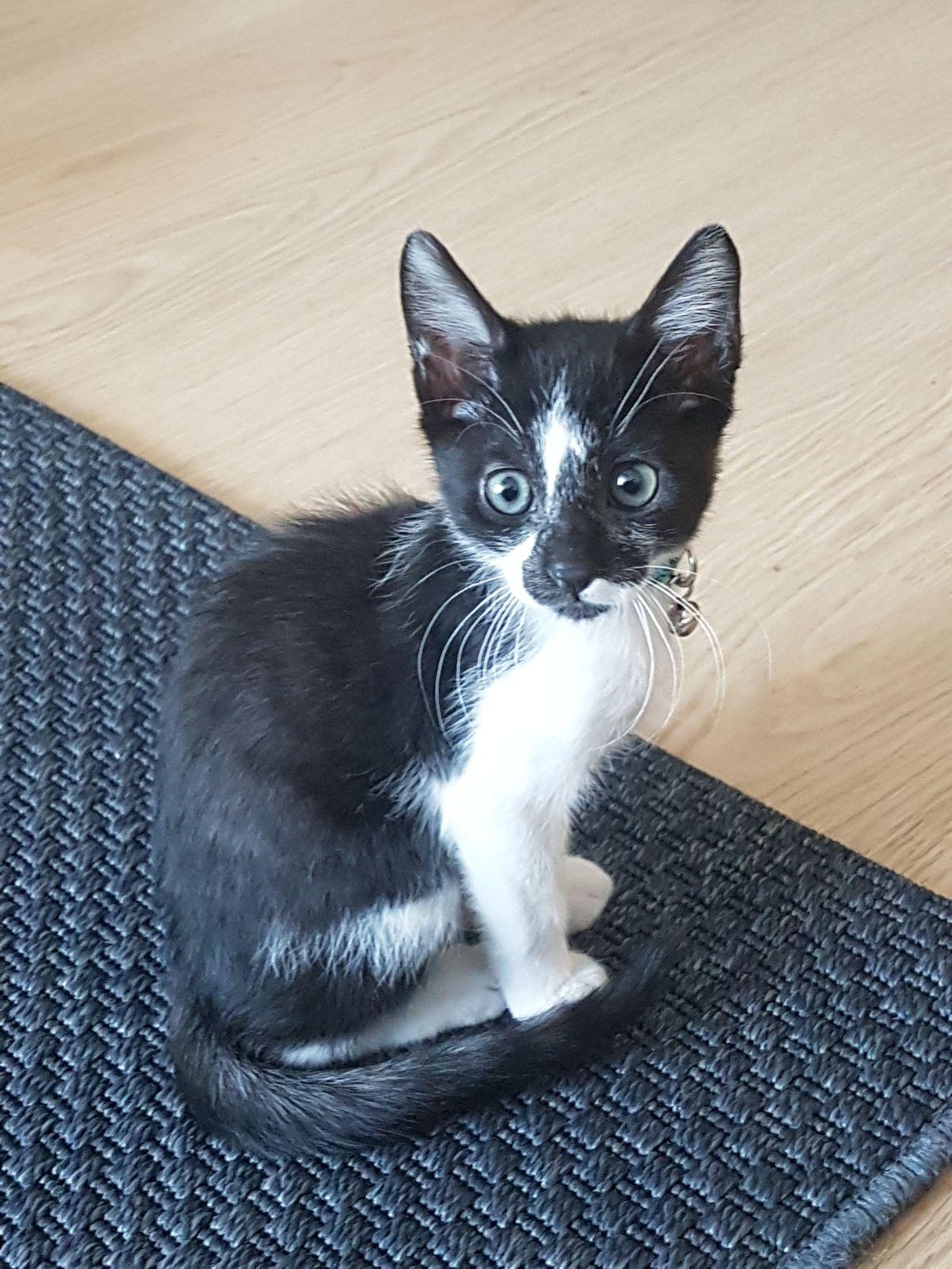 2.5 aylık sağlıklı yavru kedi Chia