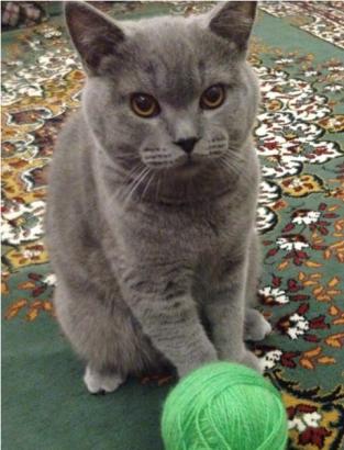 7 Aylık British Shorthair kedimi sağlık sorunları sebebiyle sahiplendirmek istiyorum.