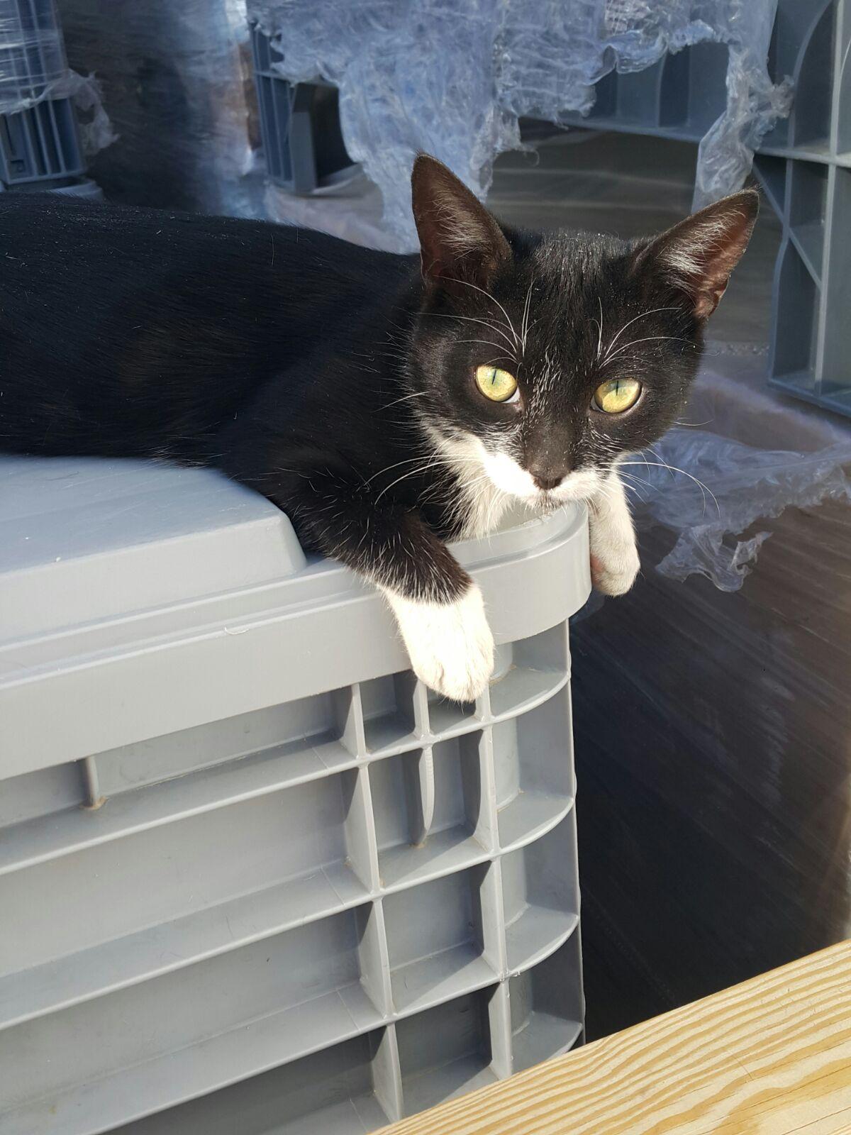 Aselsan'ın güzide yavrusu, siyah-beyaz tuxedo