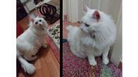 Kısırlaştırılmış Ankara Kedisi (Kaymak) Yuva Arıyor :)