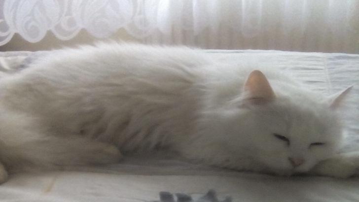 7 Aylık Ücretsiz Beyaz Kedi Sahiplendirme
