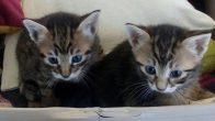 2 aylık yavru kediler için yuva arıyoruz
