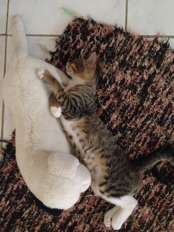 Ev kedisi, 3 aylık, akıllı, zıp zıp oyuncu ve konuşkan bir kediş :-)