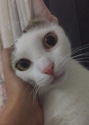 uysal erkek tekir kedi
